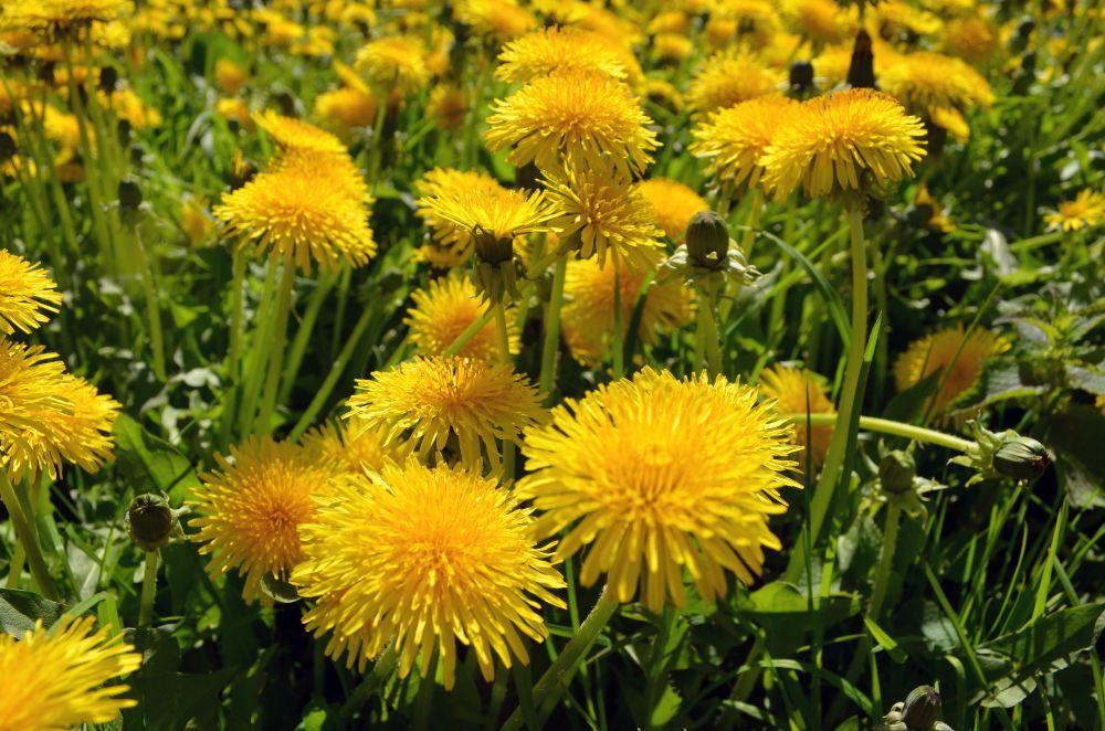 2 sladké pochúťky z kvetov púpavy, ktoré si obľúbite